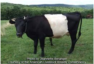 Farm Animals - Work animals - bull