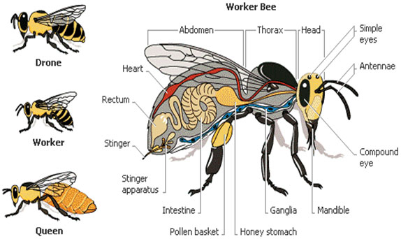 Apiculture or Bee Keeping - Types of Bees
